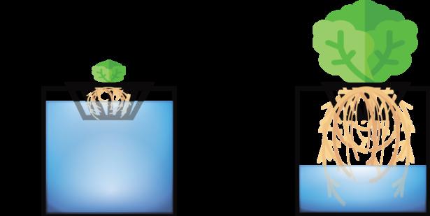 The Kratky Method Of Hydroponic Gardening