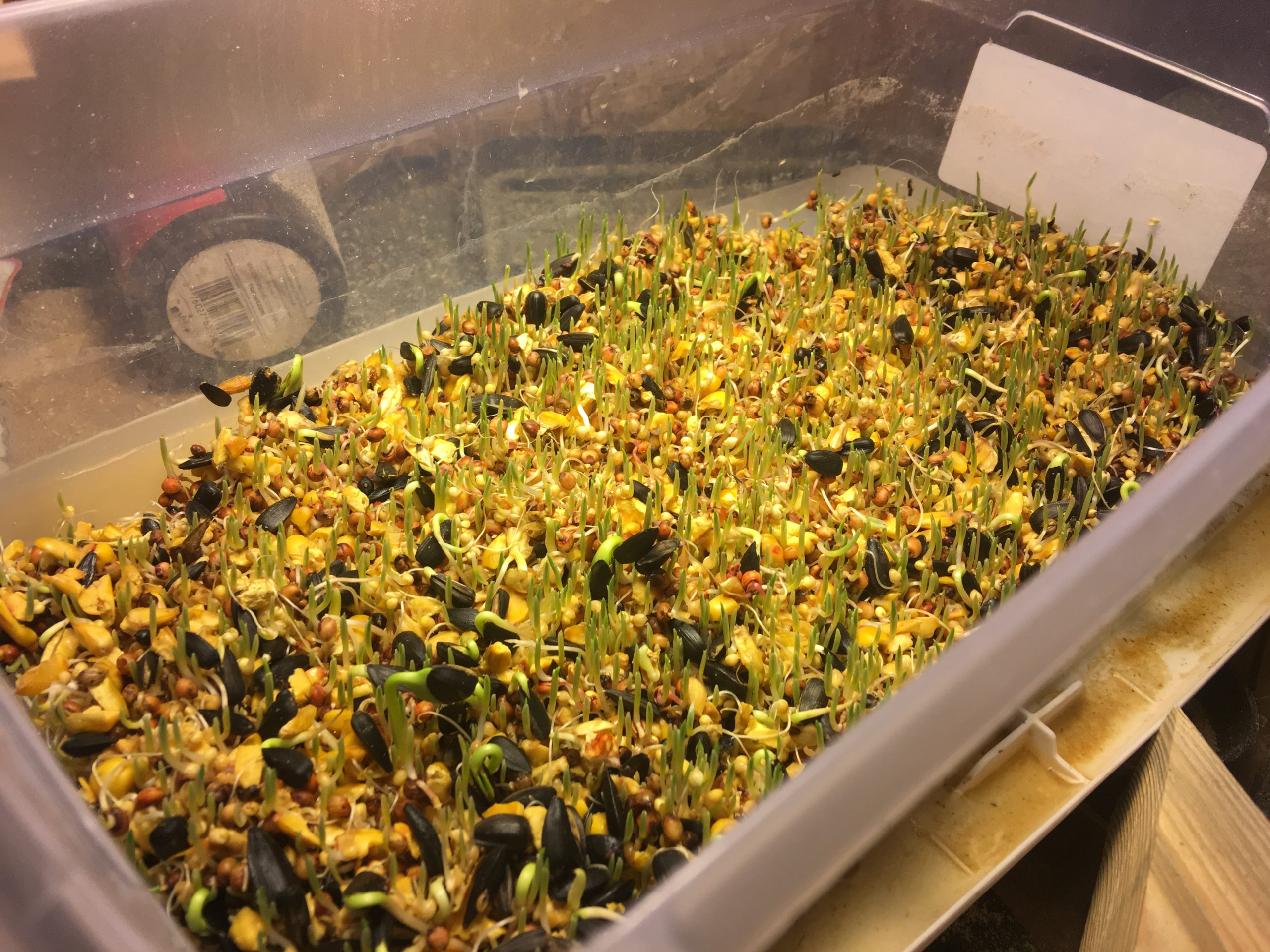 Hydroponic fodder grown from bird seed